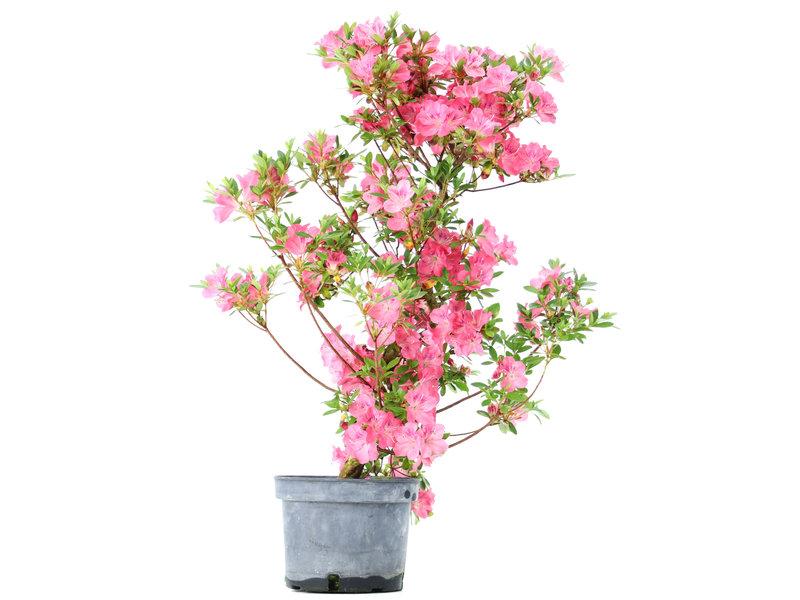 Rhododendron indicum, 70 cm, ± 5 jaar oud, met roze bloemen