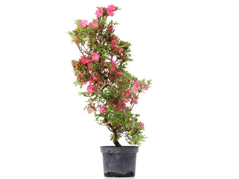 Rhododendron indicum, 76,5 cm, ± 5 jaar oud, met roze bloemen