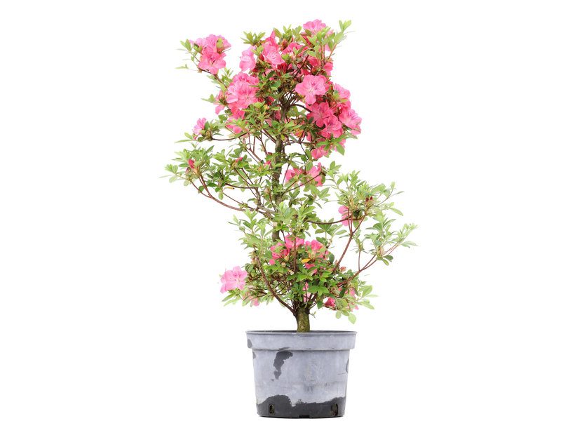 Rhododendron indicum, 66,5 cm, ± 5 jaar oud, met roze bloemen