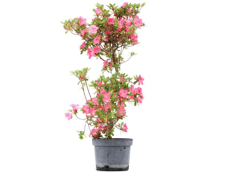 Rhododendron indicum, 73 cm, ± 5 jaar oud, met roze bloemen