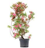 Rhododendron indicum, 80 cm, ± 5 jaar oud, met roze bloemen