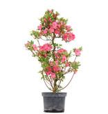 Rhododendron indicum, 78 cm, ± 5 jaar, met roze bloemen