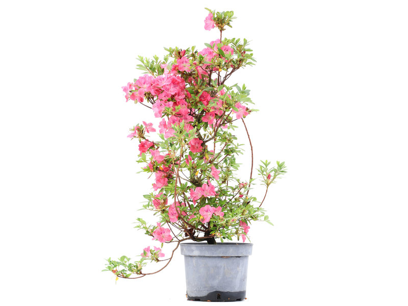 Rhododendron indicum, 69 cm, ± 5 jaar oud, met roze bloemen