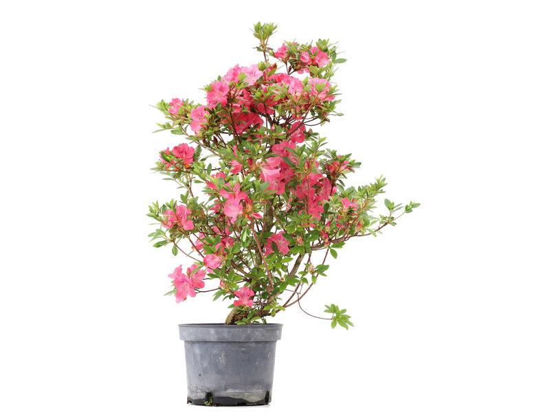 Rhododendron indicum, 64,5 cm, ± 5 jaar oud, met roze bloemen