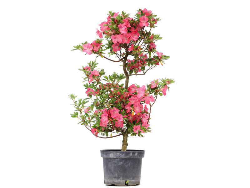 Rhododendron indicum, 76 cm, ± 5 jaar oud, met roze bloemen