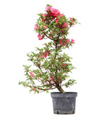 Rhododendron indicum, 71,5 cm, ± 5 jaar oud, met roze bloemen