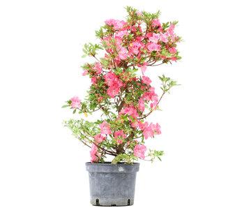 Rhododendron indicum, 66 cm, ± 5 jaar oud