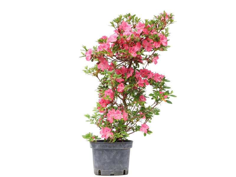 Rhododendron indicum, 66 cm, ± 5 years old, with pink flowers