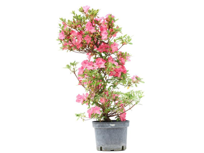 Rhododendron indicum, 66 cm, ± 5 jaar oud, met roze bloemen