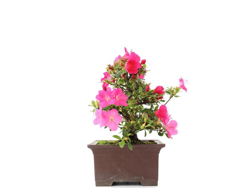 Rhododendron indicum, 25,5 cm, ± 15 jaar oud, met roze bloemen