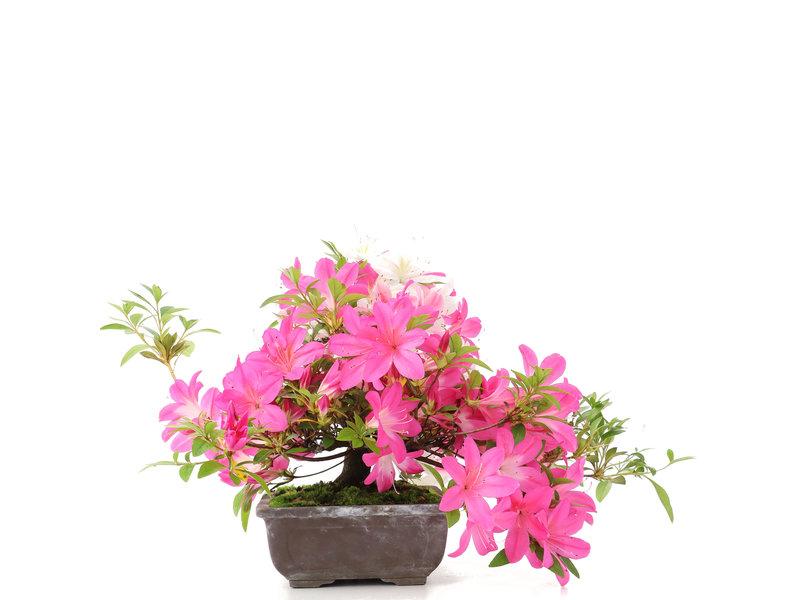 Rhododendron indicum, 28,5 cm, ± 15 jaar oud, met roze bloemen