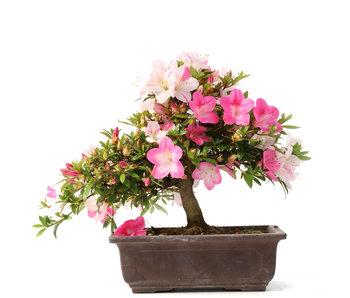Rhododendron indicum, 25 cm, ± 15 años