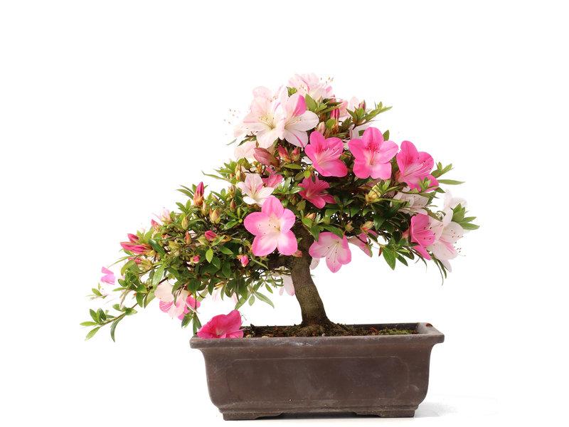 Rhododendron indicum, 25 cm, ± 15 jaar oud, met roze bloemen