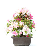 Rhododendron indicum, 25 cm, ± 15 years old, with pink flowers