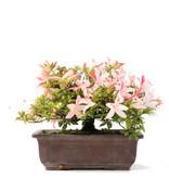 Rhododendron indicum, 18,5 cm, ± 15 jaar oud, met roze bloemen