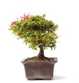 Rhododendron indicum, 21,5 cm, ± 15 jaar oud, met roze bloemen