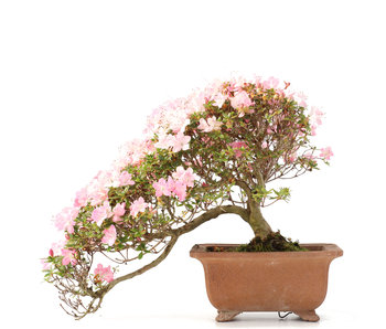 Rhododendron indicum, 22,5 cm, ± 15 years old