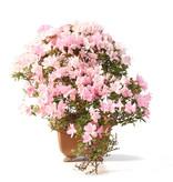 Rhododendron indicum, 22,5 cm, ± 15 jaar oud, met roze bloemen