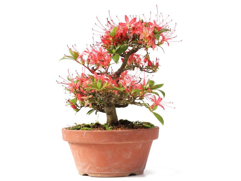 Rhododendron indicum Cyojuho, 22 cm, ± 18 jaar oud, met koraalrode bloemen