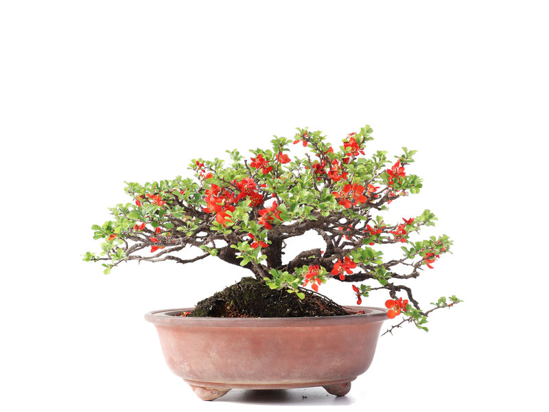 Chaenomeles speciosa, 20 cm, ± 30 jaar oud, met rode bloemen en gele vruchten