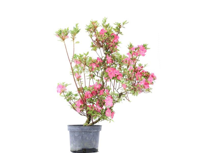 Rhododendron indicum, 68,5 cm, ± 5 jaar oud, met roze bloemen