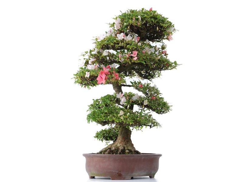 Rhododendron indicum Koka, 94 cm, ± 20 jaar oud, met een nebari van 19 cm
