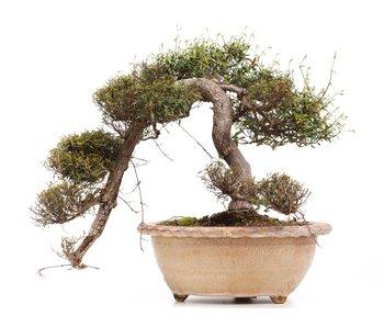 Trachelospermum asiaticum Chirimen, 55 cm, ± 40 jaar oud