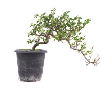 Cotoneaster horizontalis, 19 cm, ± 6 years old