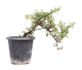 Cotoneaster horizontalis, 19 cm, ± 6 jaar oud