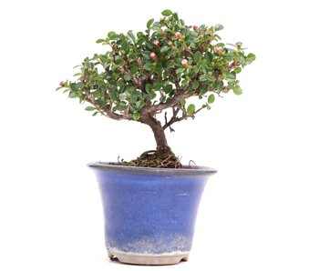Cotoneaster horizontalis, 11 cm, ± 6 years old