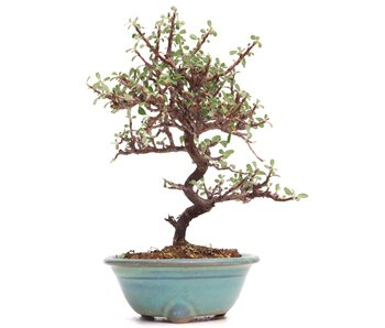 Cotoneaster horizontalis, 17 cm, ± 6 years old