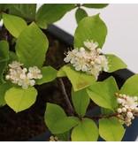 Pourthiaea villosa Decne, 49 cm, ± 30 jaar oud, met witte bloemen en rode bessen