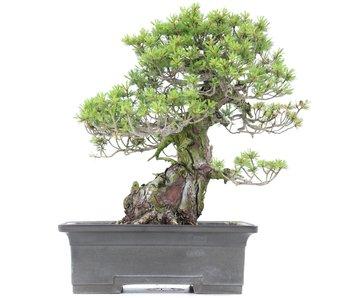 Pinus parviflora Zuisho, 38 cm, ± 35 años