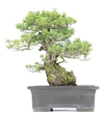 Pinus parviflora Zuisho, 38 cm, ± 35 jaar oud, met fijne en compacte naalden