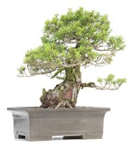 Pinus parviflora Zuisho, 38 cm, ± 35 years old, with fine and compact needles