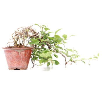 Lonicera gracilipes Glabra (Neagari), 22 cm, ± 8 years old