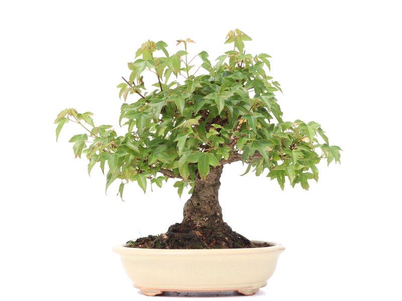 Acer buergerianum, 15 cm, ± 30 jaar oud, met een mooie nebari van 7 cm
