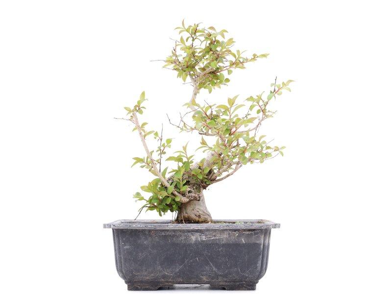 Lagerstroemeria indica, 21 cm, ± 20 jaar oud