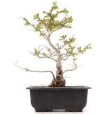 Lagerstroemeria indica, 23 cm, ± 20 jaar oud