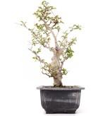 Lagerstroemeria indica, 21,5 cm, ± 20 jaar oud