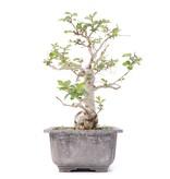 Lagerstroemeria indica, 20 cm, ± 20 jaar oud