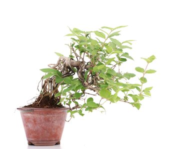 Lonicera gracilipes Glabra (Neagari), 13,5 cm, ± 8 jaar