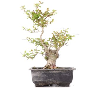 Lagerstroemeria indica, 26 cm, ± 20 jaar oud