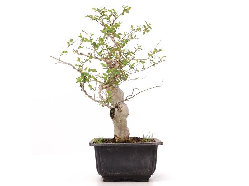 Lagerstroemeria indica, 25 cm, ± 20 jaar oud