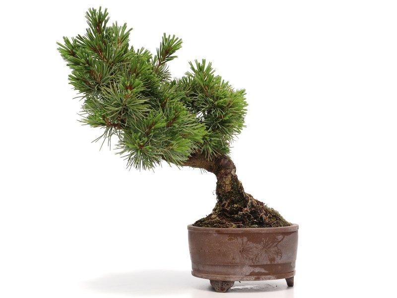 Pinus parviflora, 23 cm, ± 15 jaar oud