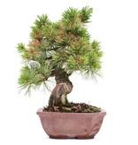 Pinus parviflora, 21 cm, ± 15 jaar oud