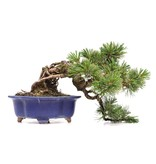 Pinus parviflora, 15 cm, ± 15 jaar oud