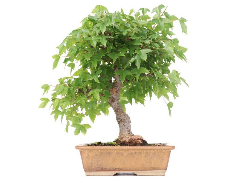 Acer buergerianum, 25 cm, ± 12 jaar oud, met een mooie nebari van 8 cm