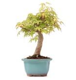 Acer palmatum, 24 cm, ± 12 jaar oud
