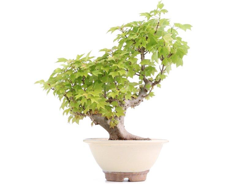 Acer buergerianum Miyasama, 35 cm, ± 15 jaar oud